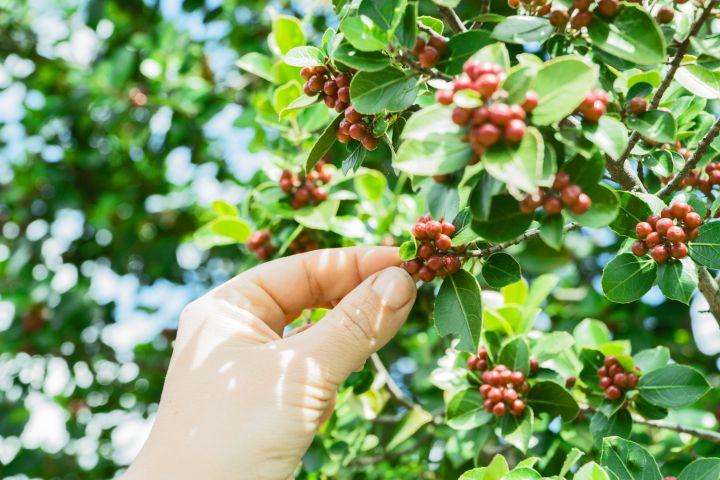 owoce kawowca na drzewie